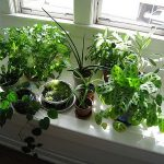 Will Window Tinting Kill My House Plants?